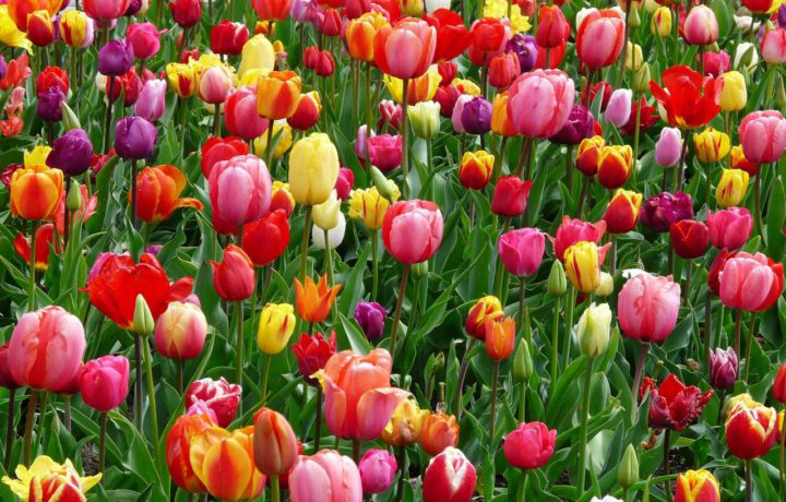 Тюльпаны в Марте