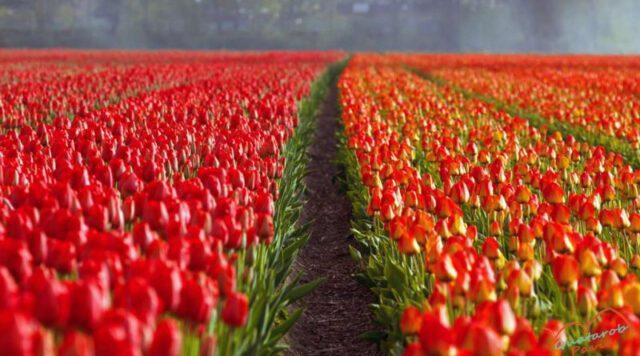 Тюльпаны Милан весна